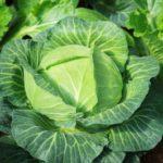 kysané zelí jako probiotikum
