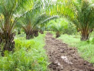 palmový olej