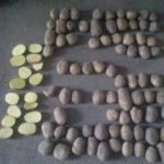 brambory