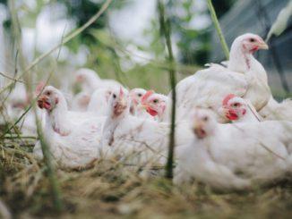 Mimořádná veterinární opatření vůči ptačí chřipce na Pardubicku končí