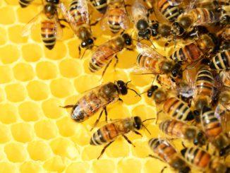 varroáza včel
